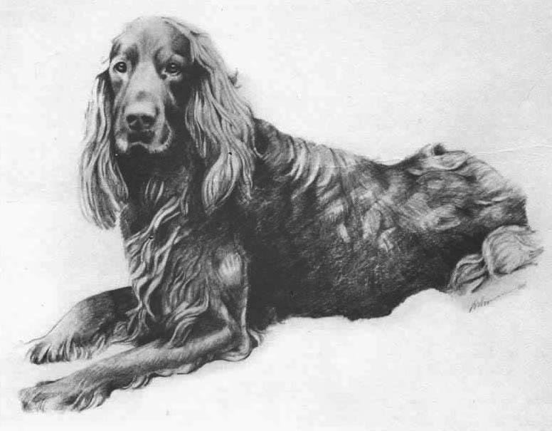Irish Setter Drawing by Margaret Ashmore